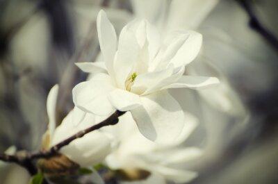 Cuadro Flores blancas de la magnolia