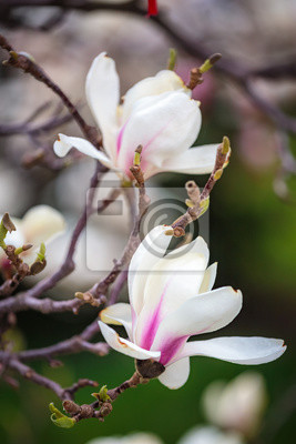 Flores Blancas De La Magnolia En La Plena Floracion Flor Cremosa