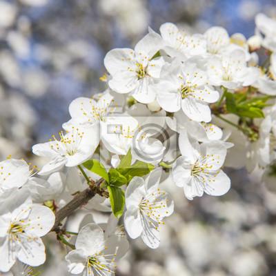 Cuadro flores blancas de primavera en una rama de árbol sobre bokeh soleado posterior del gris