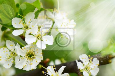 Cuadro Flores de cerezo en primavera