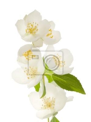 Cuadro flores de jazmín blanco