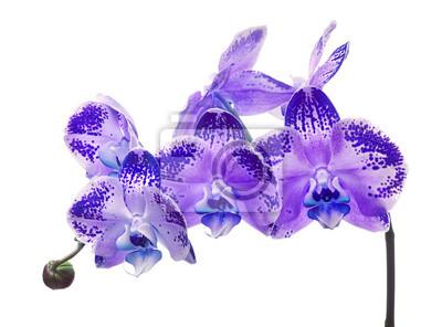 Flores De Las Orquideas De Color Lila En Manchas Azules Sobre