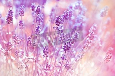 Cuadro Flores de lavanda en el jardín de flores