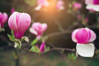Cuadro Flores de magnolia