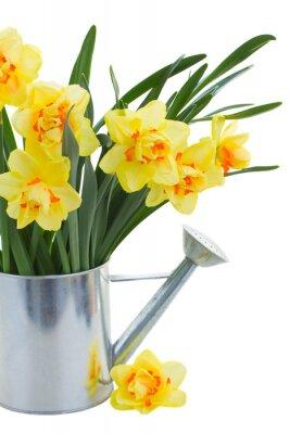 Cuadro flores del narciso en poder de riego de cerca