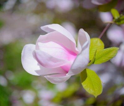 Cuadro Flores rosadas hermosas de la magnolia. Primavera de fondo