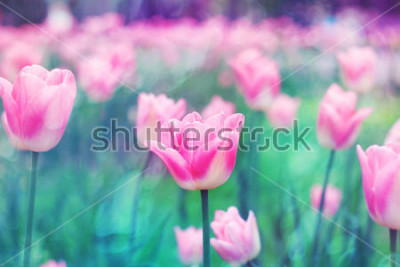 Cuadro Flores rosadas tulipanes iluminados por luz del sol. Enfoque selectivo suave, tonificante. Fondo brillante colorido de la foto