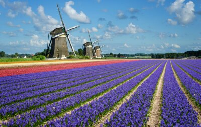 Cuadro Flowers and windmills in Holland
