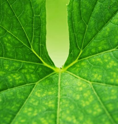 Cuadro Fondo de hoja verde