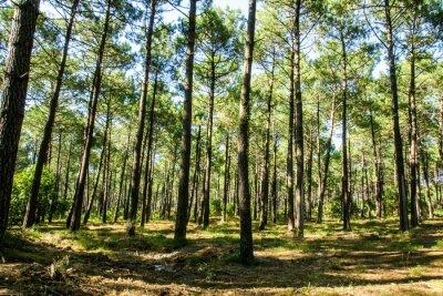 Cuadro Forêt landaise