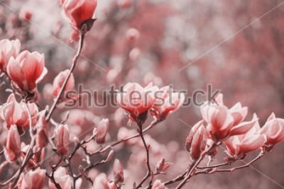 Cuadro Fotografía de tendencias sobre el tema del nuevo color del año 2019 - Living Coral. Flores de magnolia de primavera en el fondo natural.