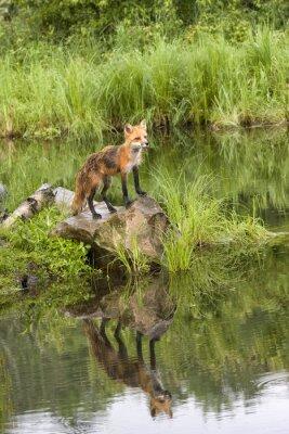 Cuadro Fox con la reflexión en un lago tranquilo