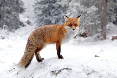 Cuadro Fox en bosque en el Alto Tatra, Eslovaquia