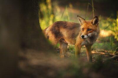 Cuadro Fox en el bosque de verano
