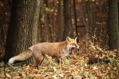 Cuadro Fox en el bosque del otoño