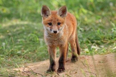 Cuadro Fox en la naturaleza