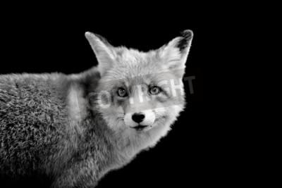 Cuadro Fox sobre fondo oscuro. Imagen en blanco y negro
