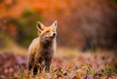 Cuadro Fox (Vulpes vulpes) en el bosque de Europa