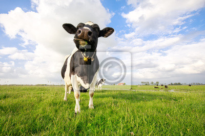 funny cute cow on tha pasture close up