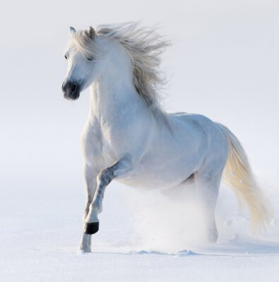 Cuadro Galopante caballo blanco como la nieve