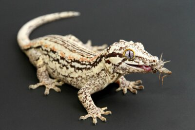 Cuadro Gargoyle Gecko comer