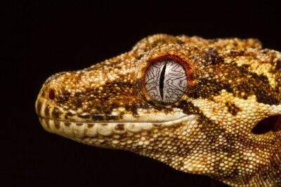 Cuadro Gargoyle Gecko (Rhacodactylus auriculatus) de perfil