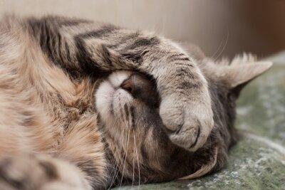 Cuadro gato el dormir