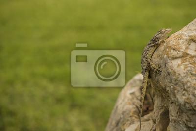 Gecko auf Fels mit grünem de fondo