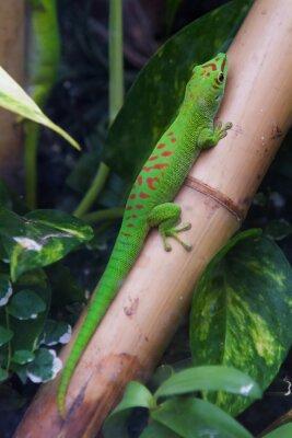 Cuadro Gecko gigante del día de Madagascar