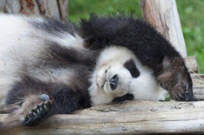 Cuadro Gigante durmiente oso panda