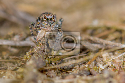 Girar la araña - aelurillus v-insignitus con la presa