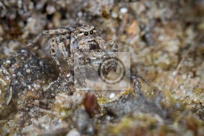 Girar la araña - aelurillus v-insignitus el canibalismo