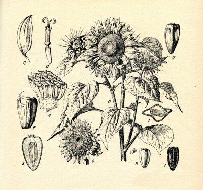 Cuadro Girasol común (Helianthus annuus)