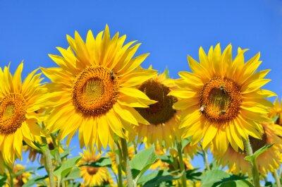 Cuadro Girasoles jóvenes florecen en el campo contra un cielo azul