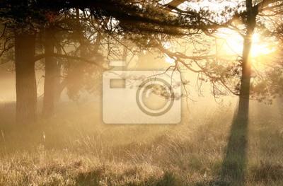 gold misty sunrise in coniferous woods