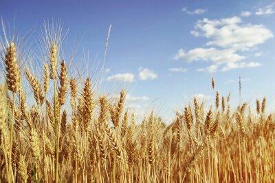 Cuadro Golden campo de trigo
