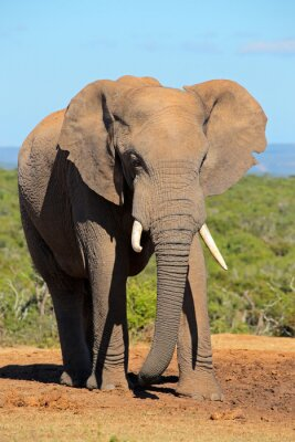 Cuadro Gran elefante africano toro (Loxodonta africana), Addo Elephant National Park, Sudáfrica.