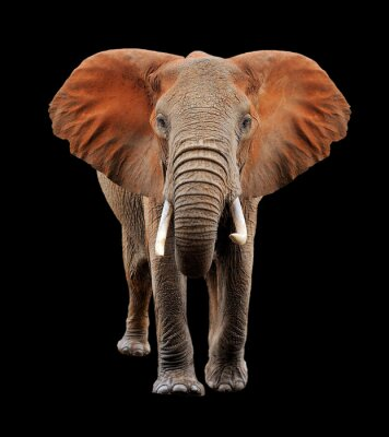 Cuadro Gran elefante sobre fondo negro