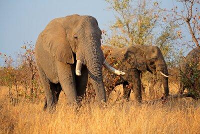 Cuadro Grandes elefantes de toro africano (Loxodonta africana), Parque Nacional Kruger, Sudáfrica.