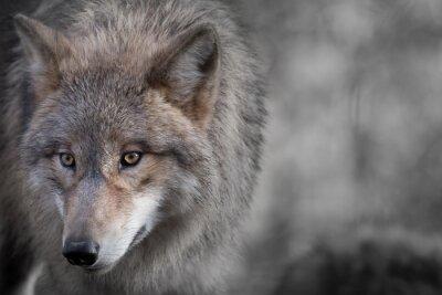 Cuadro Grauer Wolf Retrato 4