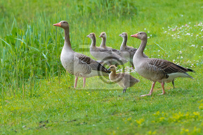 Graugans Familie - Anser anser - Ganso silvestre