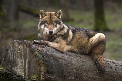 Cuadro Gris Le Loup