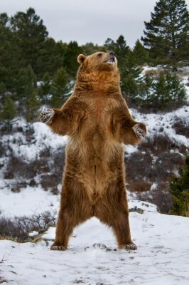 Cuadro Grizzly Bear