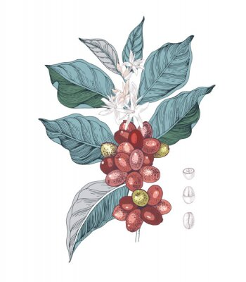 Cuadro Hand drawn illustration of Coffee branch with seeds, fruits and flowers. Sketched coffee plant