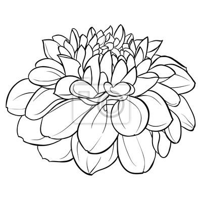 Hermosa Flor Monocromática Blanco Y Negro De La Dalia