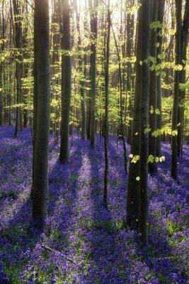 Cuadro Hermosa mañana en el bosque de bluebell del resorte con los rayos del sol throu