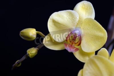 Cuadro Hermosa orquídea de flores de colores, phalaenopsis sobre fondo negro