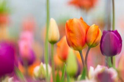 Cuadro Hermosa vista de tulipanes de colores.