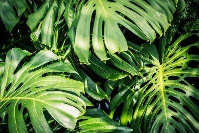 Cuadro Hermosas hojas tropicales verdes Monstera