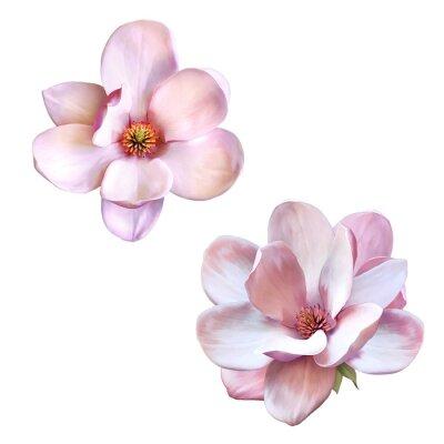 Cuadro hermosas magnolia, flor de primavera aislados